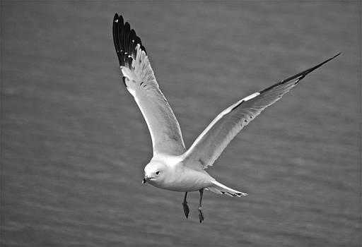 Michael Peychich - Seagull in Flight