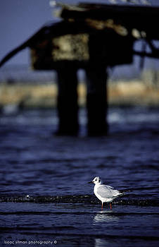 Isaac Silman - Seagull