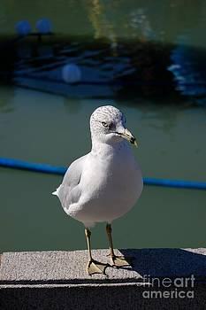 Seagull by Marsha Thornton