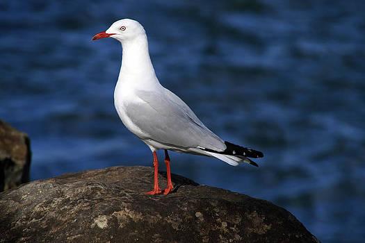 Noel Elliot - Seagull