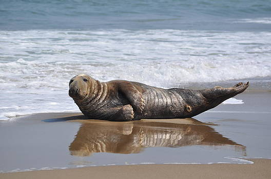 Seal on Beach by Jeff Moose