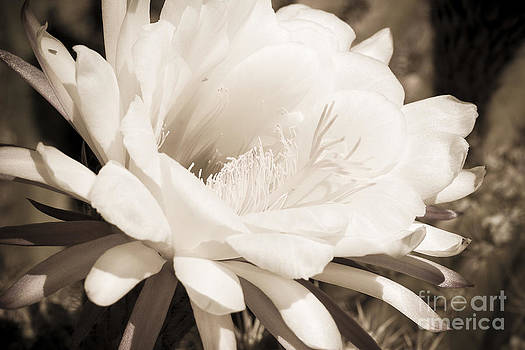 Darcy Michaelchuk - Sepia Cactus Flower
