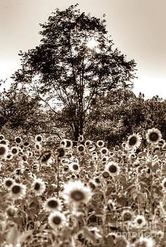 Sepia Sunflower Sunset by Mark East