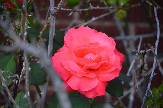 September Rose by Mark Stidham