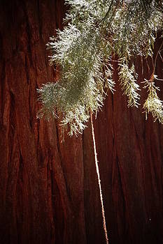 Julie Grandfield - Sequoia Bark