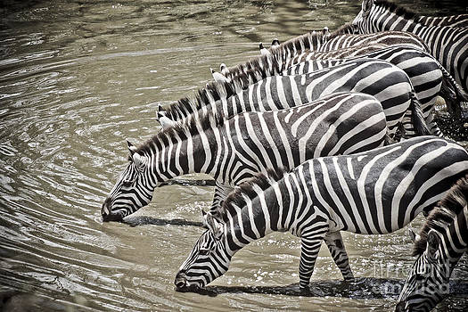 Darcy Michaelchuk - Several Thirsty Zebra