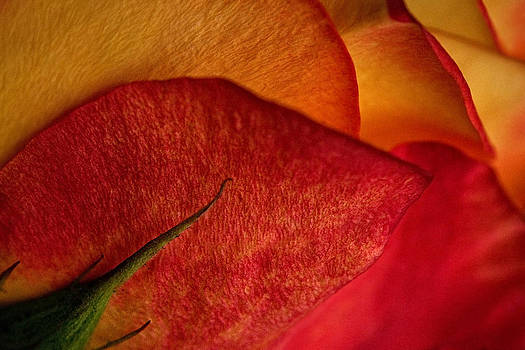 Shades of a Rose by Amber Schenk