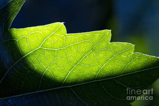 Shadow on leaf -1 by Tad Kanazaki