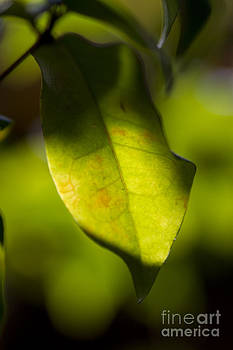 Shadow on leaf -11 by Tad Kanazaki