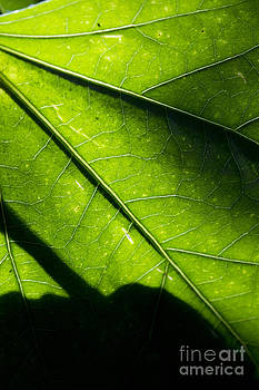 Shadow on leaf -2 by Tad Kanazaki