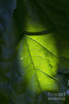 Shadow on leaf -3 by Tad Kanazaki