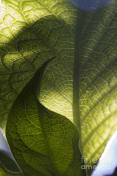 Shadow on leaf -4 by Tad Kanazaki