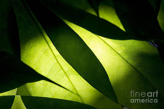 Shadow on leaf -6 by Tad Kanazaki