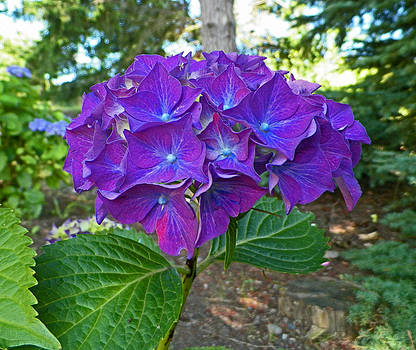 Shady Blue Hydrangea by Seth Shotwell