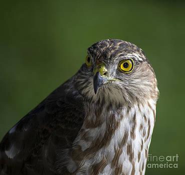 Sharp Shinned Hawk by TommyJohn PhotoImagery LLC