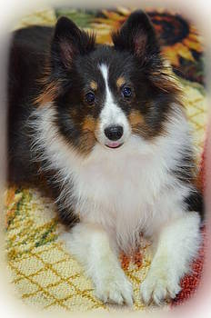 Ronald T Williams - Sheba The Sheltie