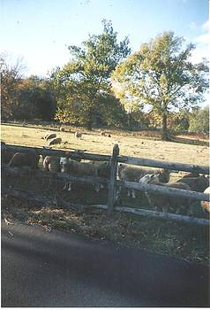 Sheep Gather Near Fence by Thelma Harcum