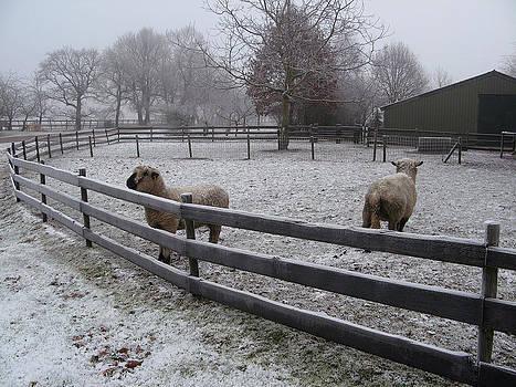 Sheep in Winter in Holland by Leontine Vandermeer