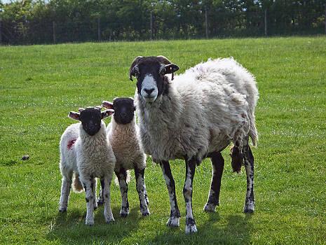 Sheep by Valerie Longo