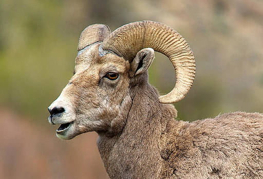 Sheepish by Bob Smithing