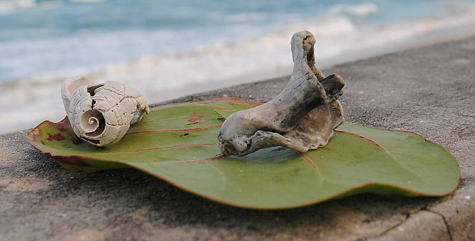 Shells on Sea grapes by Quinn Johnson