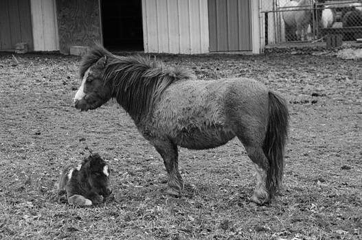 Ronald T Williams - Shetland Ponies BW