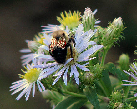 Peg Urban - Shimmering Bee on Aster