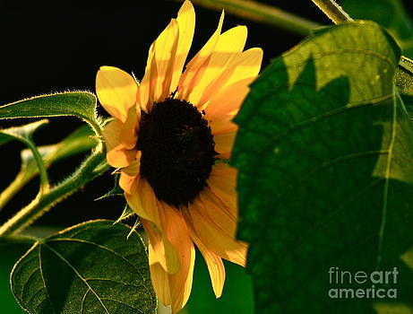 Shine Like the Sunflower by Diane Stresing