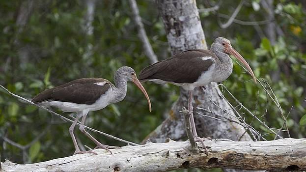 Shore Birds by Laura Poniatowski
