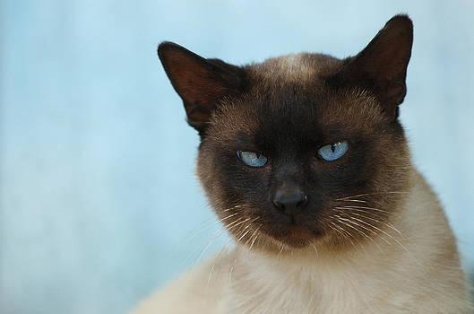 Waldek Dabrowski - Siamese cat