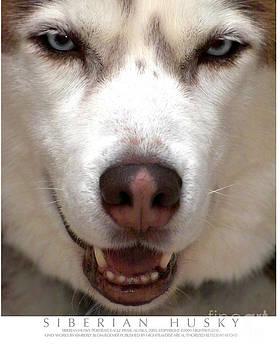 Siberian Husky by Kimberly Blom-Roemer