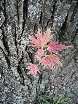 Angela Hansen - Silver Maple Leaves
