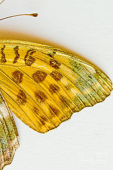 Silver-washed Fritillary Argynnis paphia by Mary C Legg