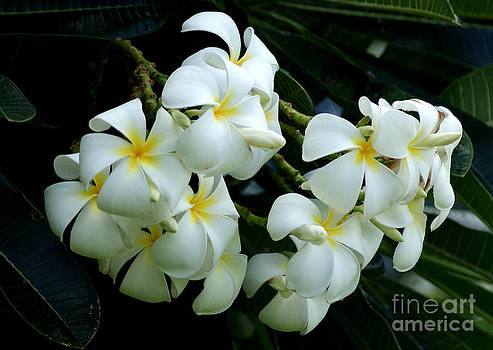 Singapore Plumeria by Angela DiPietro