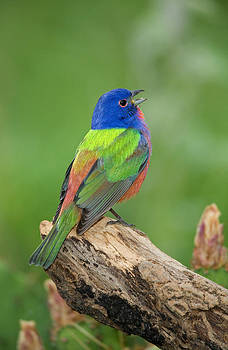 Singing Painted Bunting by Pete Parker