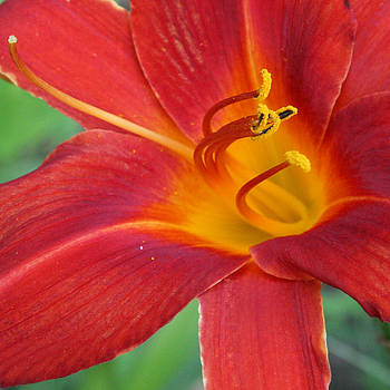 Donna Corless - Single Red Lily Closeup
