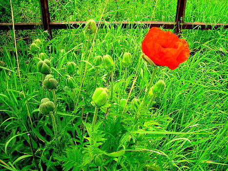Single Red Poppy by Amy Bradley