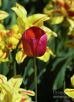 Tim Mulina - Single Red Tulip