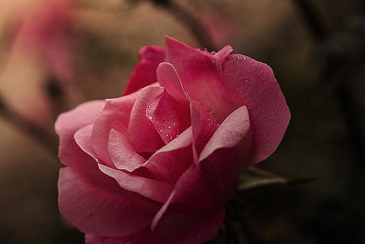 Single Rose by Kelly Rader