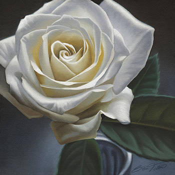 Single White Rose by Steven Tetlow