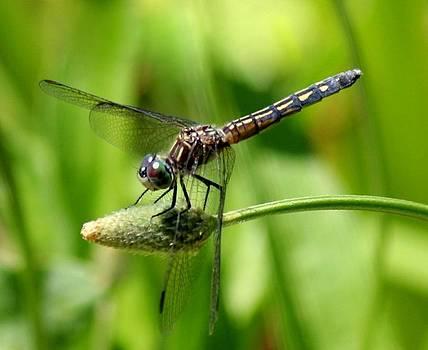 Rosanne Jordan - Sitting Dragonfly
