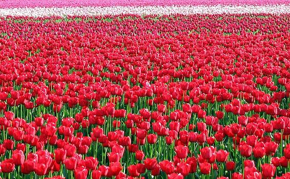 Skagit Valley Tulips 6 by Will Borden
