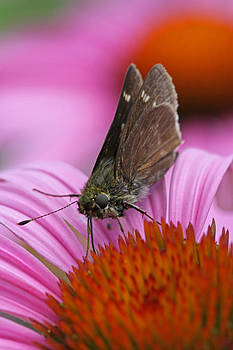 Juergen Roth - Skipper Moth Macro Photography