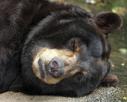 Sleeping Bear by Monica Lahr