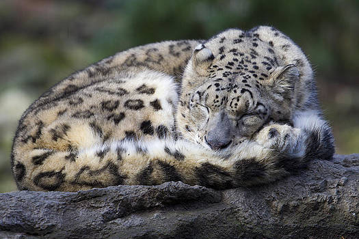 Sleeping Leopard by Gordon Donovan