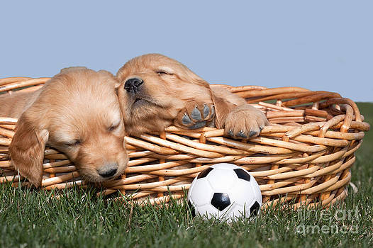 Cindy Singleton - Sleeping Puppies in Basket and Toy Ball