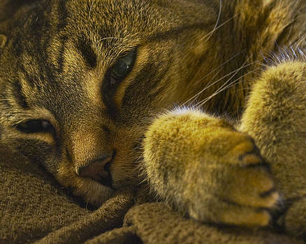 Sleeping Tiger by Kurt Bonnell