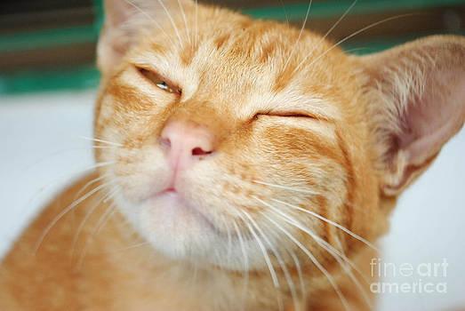 Sleeping Yellow Cat by Jeng Suntorn niamwhan