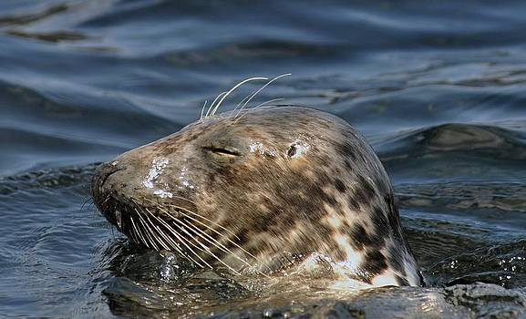 Sleepy Seal by Rick Frost
