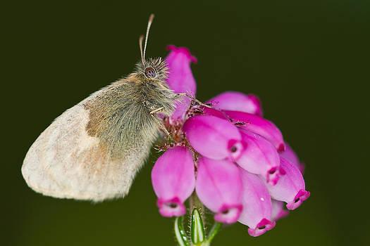 Small Heath Coenonympha pamphilus by Gabor Pozsgai